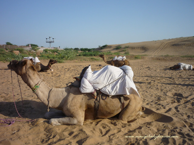 Camel Safari in Osian