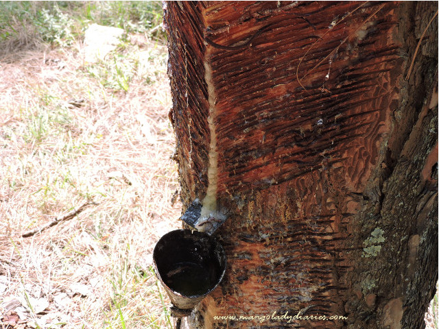 Tapping of Chir Pine Tree