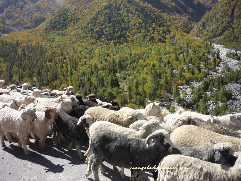Livestock farming in Chhitkul