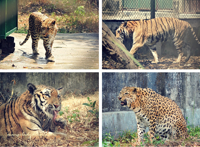 Tigers and Leopards at South Khairbari