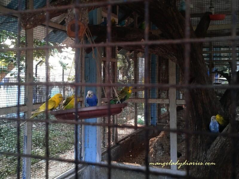 Parakeet birds