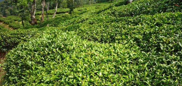 Tea Garden in Dharamghar