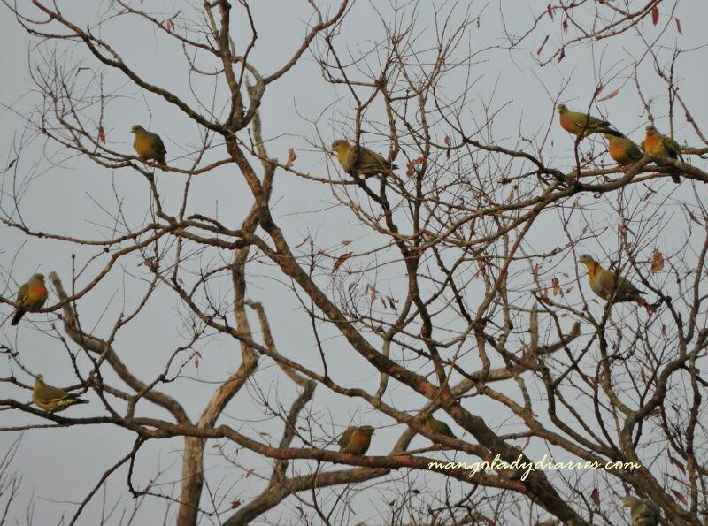Green Pigeons