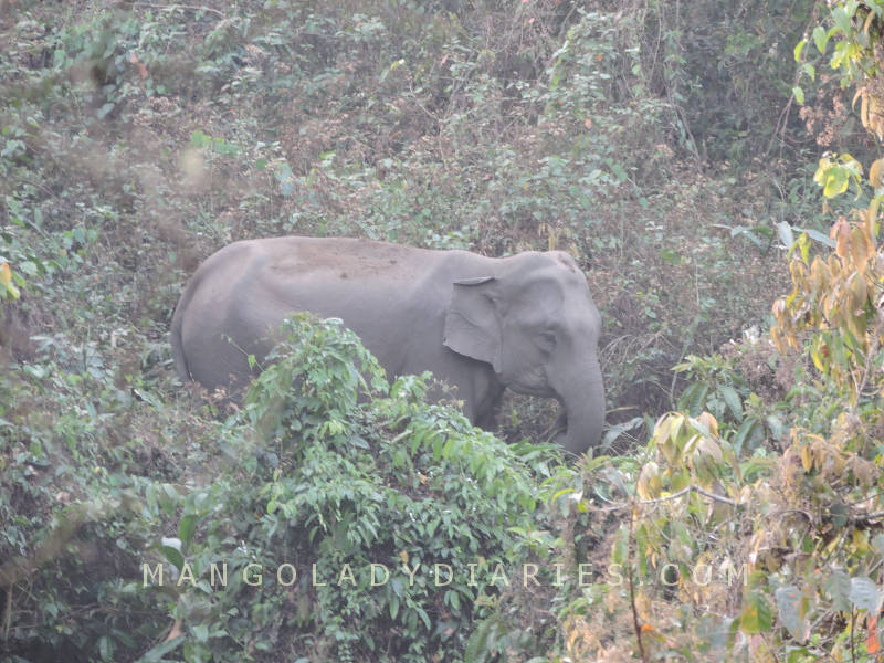 Elephant in Gorumara