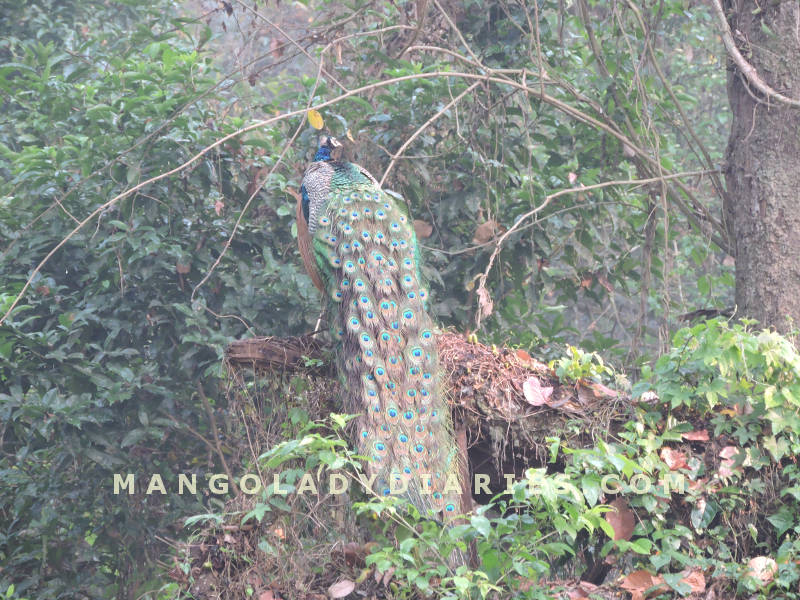 Peacock in Gorumara
