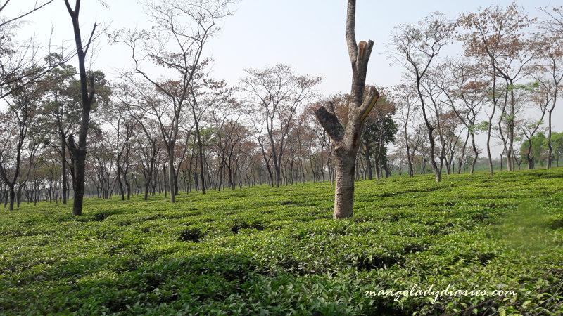 Lush Tea Gardens